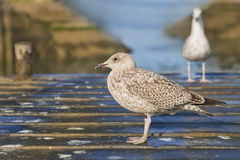 Young herring gulls (Larus Argentatus) standing on a small wooden bridge Royalty Free Stock Photos
