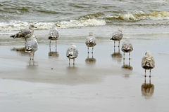 Young herring gulls in sea. The herring gull, Larus argentatus, is a large gull which breeds across North America, Europe and Asia Royalty Free Stock Photo