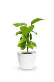 Young Hibiscus a potted plant isolated over white Royalty Free Stock Photography