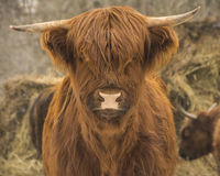 Young highland beef. Description: Young highland beef This young curious beef came up to look at me. This type of beef can withstand our cold winters of quebec Stock Image