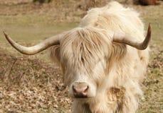 Young highland bull Stock Photos
