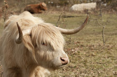 Young highland bull Stock Images