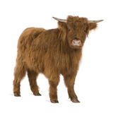 Young Highland Cow. In front of a white background Stock Photography