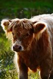 Young Highland cow Royalty Free Stock Images