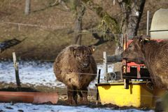 Young Highland cow in a farmers farm in winter.  royalty free stock photos