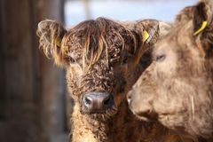 Young Highland cow in a farmers farm in winter.  stock images