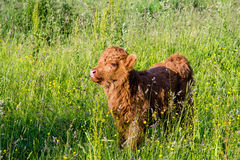 Young highland cow in a field Royalty Free Stock Photos