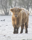 Young highland cow on a frosty morning Stock Images