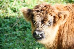 Young of highland cow in mountain meadows Alto Adige Italy Royalty Free Stock Photography