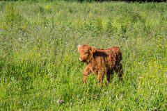 Young highland cow walking Royalty Free Stock Image