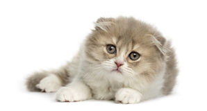 Young Highland Fold kitten lying down Stock Photography