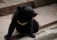 Young Himalayan Bear. The largest Asiatic black bear. Young Ussuri bear in zoo stock photo