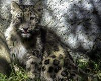 Snow Leopard Cub Stock Photo