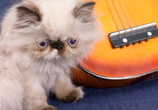 Young Himalayan Persian kitten with a guitar. A young, two month old Blue Point Himalayan Persian kitten with a miniature guitar on a blue background stock photography