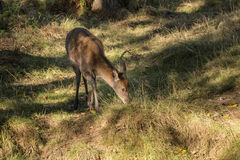 Young hind doe red deer in Autumn Fall forest landscape image Stock Photo