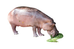 Young hippo is eatting grass Royalty Free Stock Photos