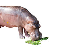 Young hippo is eatting grass Royalty Free Stock Images