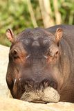 Young hippo looking at you Stock Photo