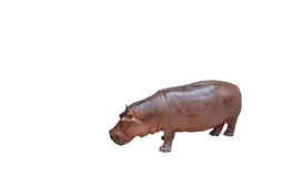 Young Hippopotamus Isolated on White Background, Clipping Path Royalty Free Stock Photos
