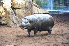 Young hippopotamus portrait taking sun royalty free stock image