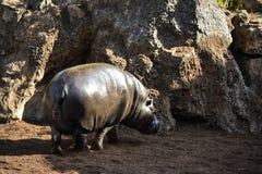 young hippopotamus taking the sun stock photo