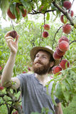 Young hipster bearded boy farmer who gathers peaches from the orchard Stock Photo