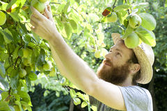 Young hipster bearded boy farmer who gathers pears from trees Royalty Free Stock Photos