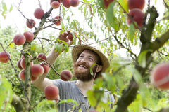 Young hipster bearded smiling boy farmer who gathers peaches from the orchard Stock Photo