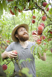 Young hipster bearded smiling boy farmer who gathers peaches from the orchard Stock Photos