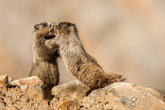 Young Hoary Marmots. Two Young Hoary Marmots Play-Fighting Stock Photos