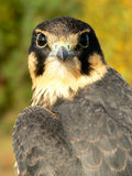Young hobby falcon Royalty Free Stock Photos