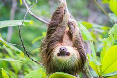 Young Hoffmann`s Sloth royalty free stock image