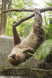 Young Hoffmann's two-toed sloth eating lentils Stock Photo