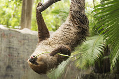 Young Hoffmann's two-toed sloth eating lentils Royalty Free Stock Photo