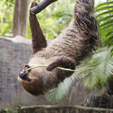 Young Hoffmann's two-toed sloth eating lentils Stock Image