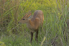 Young Hog Deer in the Grasses Stock Image
