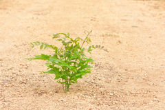 Young hog-plum tree growth on gravel laterite ground. Specific view cound found at some rural country of Thailand Royalty Free Stock Images
