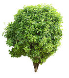 Young holly tree Stock Photography