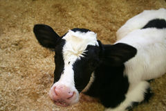 Young Holstein Calf Stock Photography