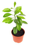 Young home orange tree Stock Images