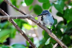 Young honeycreeper bird Royalty Free Stock Photos