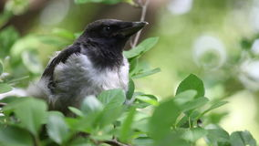 Young hooded crow chick nesstling stock video footage