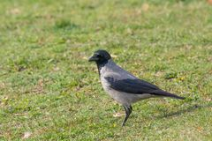 Hooded Crow aka hoodie - Corvus corone cornix Royalty Free Stock Photography