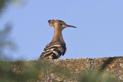 Young hoopoe sitting on the wall of the ruined building a summer Stock Image