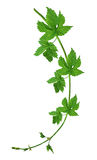 Young hop with leaves isolated on a white background without a s Stock Photos