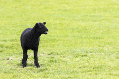 Young horned black lamb bleating Royalty Free Stock Photos