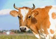 Young horned cow on the grassland Stock Photography