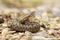 Young horned european viper on ground Stock Image