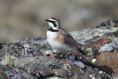 Young Horned Lark (or shore lark) showing off. His colours Stock Photos