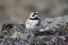 Young Horned Lark (or shore lark) showing off. And standing on a rock Stock Photo